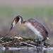 Самец и самка периодически меняются,пока один высиживает,второй либо кормится,либо подстраивает гнездо.Они постоянно подстраивают гнездо,в результате,к концу гнездования,оно около метра в глубину.