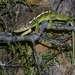Белаландский хамелион, Furcifer belalandaensis. Очень редкая зверюшка! Обратите внимание на лапки хамелеона. На то как расположены пальцы! Его пять пальцев на каждой лапе разделены на 2 группы и противопоставлены друг другу. Получаются настоящие клещи для захвата. С такими очень удобно передвигаться по ветвям - клещи надёжно удерживают животное в любой ситуации, будь даже сильный ветер.