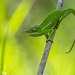 Хамелеон Петтерса, Furcifer petteri. Кроме размерных отличий многие виды хамелеонов настоящие щёголи - в окраске сочетаются все известные цвета. Есть и более скромные, как правило зелёные или зелёно-серые, однако что бы не отставать от расписных собратьев они себе завели всякие украшения типа «рогов», «носов», «шлемов».