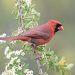 Также иногда на этих растениях птицы позируют. Красный кардинал.