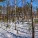 Март, 2016. Берёзово-сосновый лес на острове. Выборгские шхеры, природный заказник \