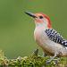 Дятел. Каролинский меланерпес - Red-bellied Woodpecker.