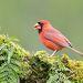 Красный кардинал (самец) - Northern Cardinal male