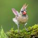 Cамка. Красный кардинал -Northern Cardinal Female