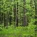 01 Для меня прогулки по весеннему лесу - сплошной отдых для глаз: зелень повсюду  радует своей свежестью...