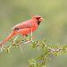 Northern Cardinal ( male).  Красный кардинал самец