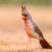 Pyrrhuloxia (male). Попугайный кардинал ( самец)