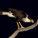 Обыкновенная каракара - Crested Caracara