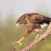 Пустынный канюк - Harris\'s Hawk