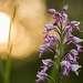 Орхидеями Бог Сибирь не обидел