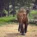 Молодные слоники, напакостив, боятся погонщиков и смешно от них удирают.