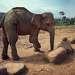 Большинство слонов абсолютно здоровы, но в приюте живёт один слепой слон, и слониха, потерявшая переднюю ногу, подорвавшись на мине.