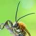 спящая длинноусая пчела