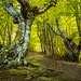 Проснувшись в первый день похода и выбравшись из палатки я решила не терять время на еду, взяла фотоаппарат и штатив и отправилась на ближайшую буковую поляну. Описать ощущения от буков в одном предложении невозможно. Их формы настолько непривычны и порой причудливы, что каждое дерево представляет из себя отдельное произведение искусства. В них можно разглядеть разные образы, а так же ощутить всю мощь леса и стихий.