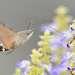 Gleaning.  Hummingbird Hawk-moth