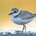 In yellow.  Little Ringed Plover