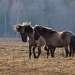 Лошадки часто играют друг с другом