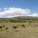 Гуанако на пути к Чилийской границе