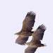 Орланы-белохвосты