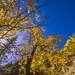 Осиновые лес на озере Нижний Кольсай.