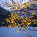 Золотая осина над водой.