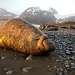 ЮМС - самое крупное плотоядное животное Земли. Самцы могут весить до 4-5 т. и достигать 6 м. в длину. Свое название морские слоны получили из-за своего размера и длинного висячего носа, напоминающего хобот. Он используется как резонатор при грозных рыках, а также для устрашения своих соперников в период брачных игр и баталий. Если слон возбужден, эта кожаная складка увеличивается в длину с 10 до 30 см. Подкожный жир составляет около трети его общей массы (защищает животное от переохлаждения). Ранее, до запрета на отлов ЮМС, охотники добывали, в основном ради жира, до 500 кг ценного продукта с каждой особи. Грубая морщинистая кожа служит им надежной защитой от внешних неблагоприятных условий, в том числе и повреждений в ходе борьбы с другими самцами, а также при спаривании. Сейчас, когда их промысел запрещен, самое большое их количество проживает на Южной Георгии, совместно с пингвинами. Большую часть времени ЮМС проводят в океане, задерживаясь под водой более чем на 20 минут и ныряя на глубины до 1.5 км, преодолевая таким образом тысячи километров. Питаются они только в воде, в основном кальмарами, моллюсками, креветками, крабами и рыбой. Натуральные враги ЮМС - косатки и акулы.