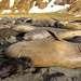 Самки ЮМС гораздо меньше в размерах и весе. Длина их обычно не превышает 2 - 3 м., а вес - 600 - 900 кг. Брачный период наступает в августе - сентябре, после прихода в Южное полушарие весны. Беременность длится до 11 месяцев.