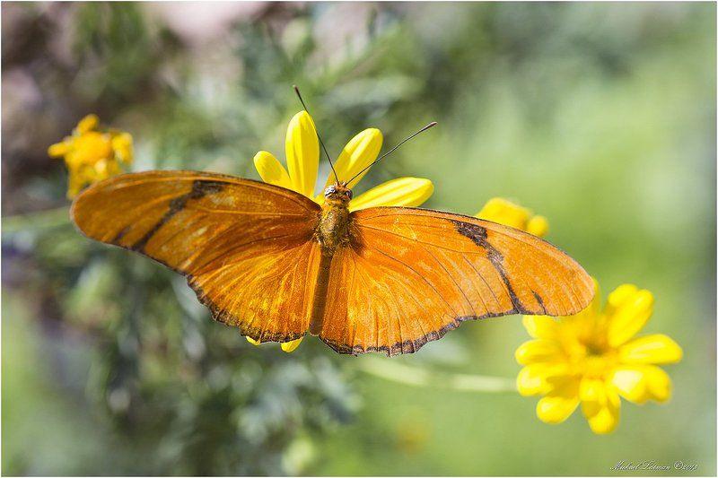 бабочка,цветы,лето,крылья,цвет Крылья бабочки...photo preview