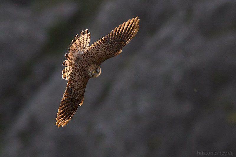 Обыкновeнная пустельгa (Falco tinnunculus)photo preview