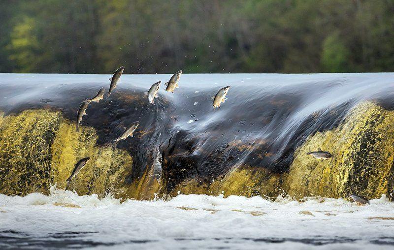 нерест, кулдинга, вента, рыба, река, латвия Нерест вимбы на Вентеphoto preview