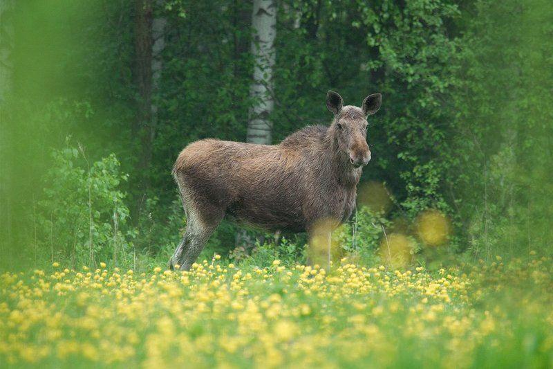 животные, лось, мир дикой природы, охрана природы, природа, фотоохота Легкомысленный портрет в весенних тонахphoto preview