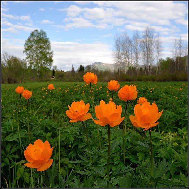 Когда цветут купальницыphoto preview