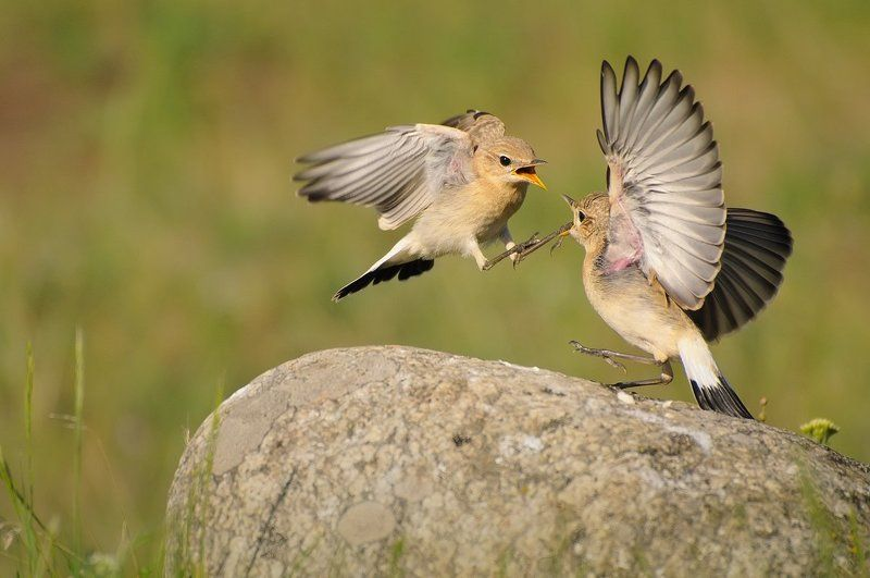 isabelline, wheatear, (oenanthe, isabellina) Go away! The rock is mine.photo preview