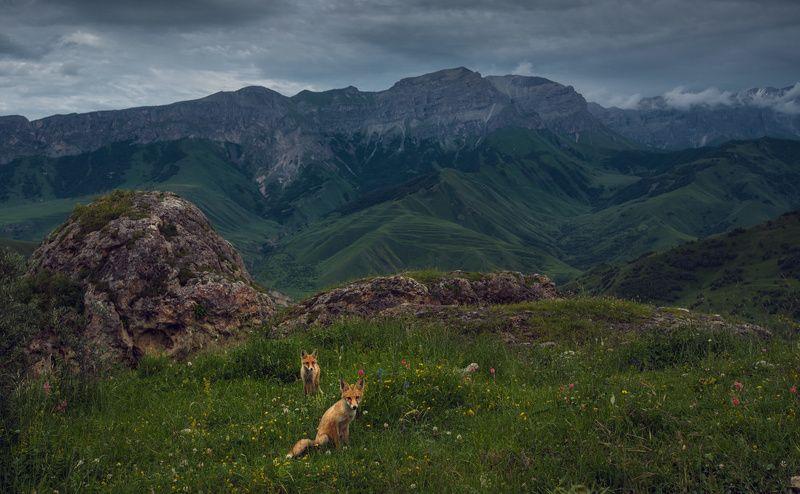 Лисы Кавказаphoto preview
