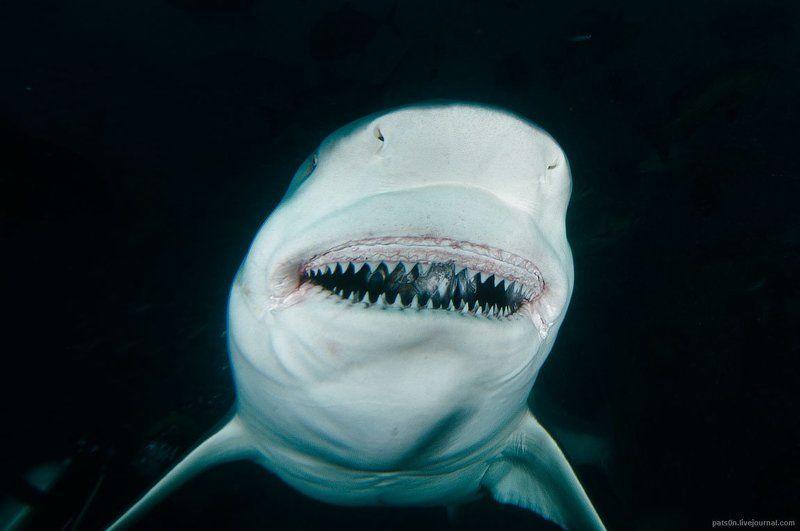 Акула, Улыбка, Фиджи avatarphoto preview