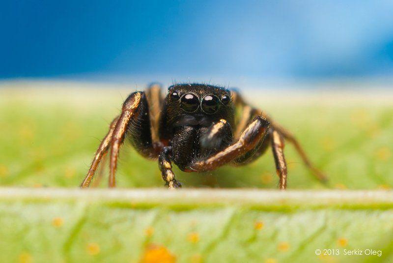 Art, Heliophanus cupreus, Jumping spider, Macro, Macrophotography, Nature, Oleg Serkiz, Олег Серкиз Heliophanus cupreusphoto preview