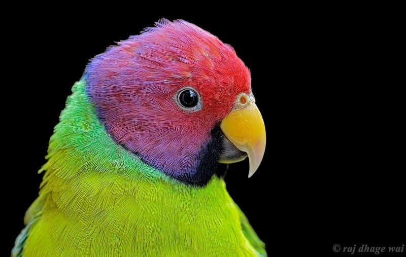 Plum headed Parakeetphoto preview