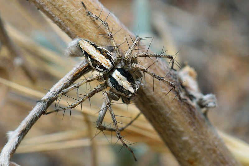 arachnida, close-up, d7000, macro, nikon, spider, wildlife, макро, паук, паук-рысь, паукообразные Lynx Spiderphoto preview