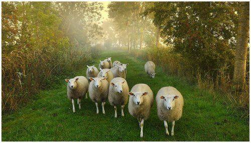 Sheep on an autumn morning.