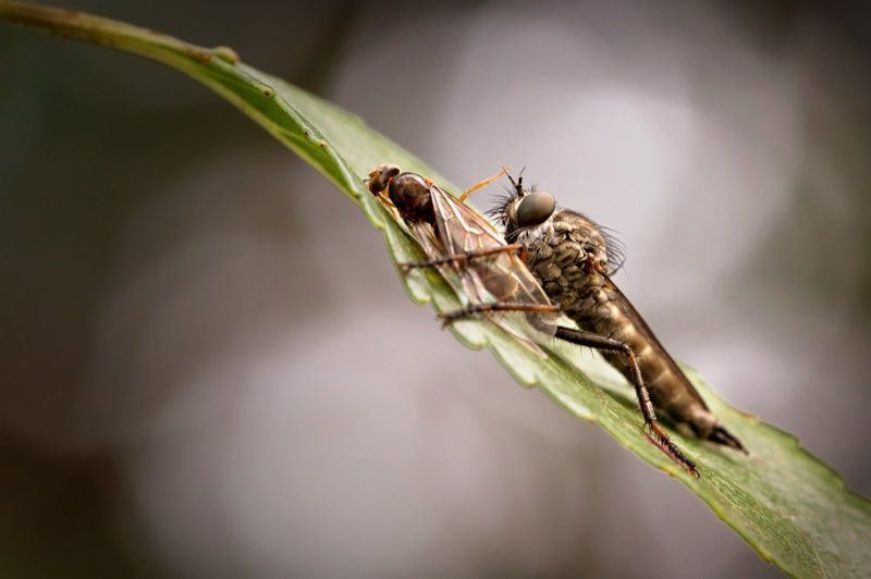Robber Fly With Preyphoto preview