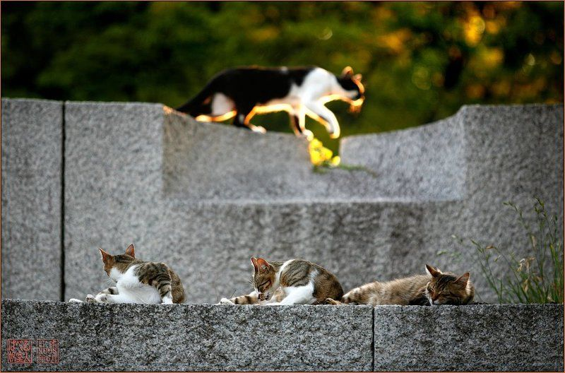япония, осака, замок, кот, кошка, закат. Осмотр владенийphoto preview