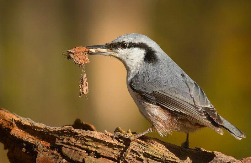 поползень, птицы Запасливый.photo preview