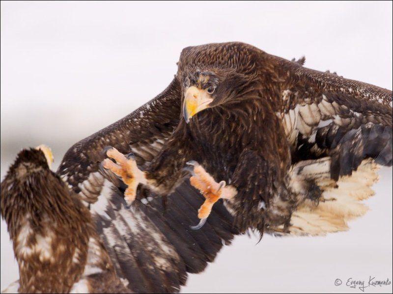 Белоплечие орланыphoto preview
