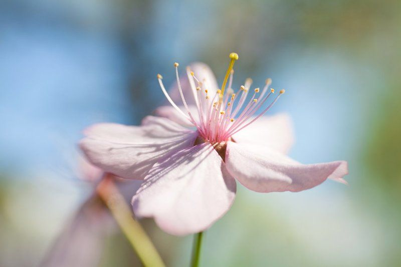 Lensbaby, Май, Макро, Сакура, Цветение, Цветок сакураphoto preview