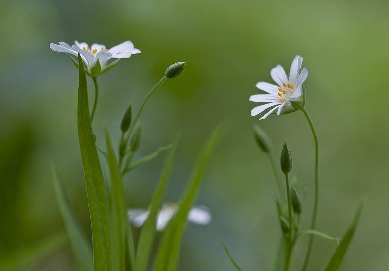Stellaria holostea, Звездчатка, Звездчатка ланцетолистная **photo preview