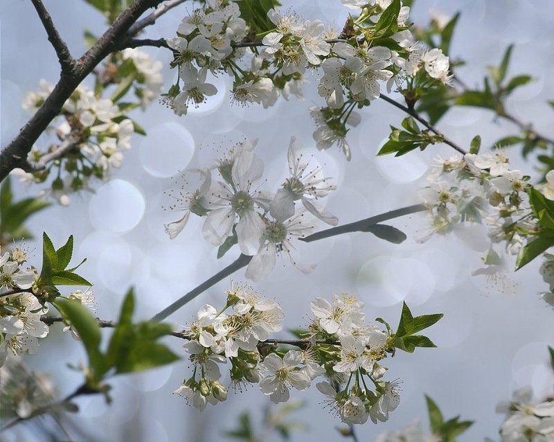 Весна, Природа, Цветение Дурманом сладким веяло...photo preview
