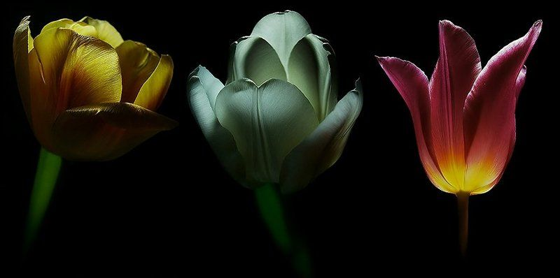 wake,flowers,art, Tenebris Tulips ©photo preview