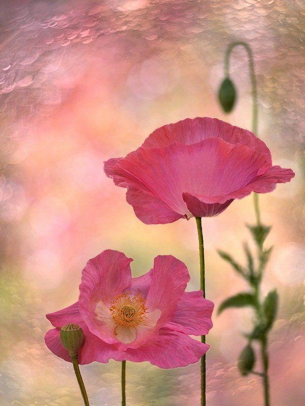 Весна, Декоративные маки, Природа, Флора, Цветы Обаяние...photo preview