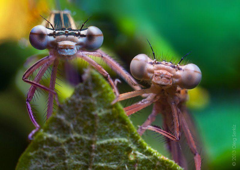 close-up, damselfly, dragonfly, eyes, face, head, macro, nature, serkiz oleg, макро, олег серкиз, стрекоза Шпионыphoto preview