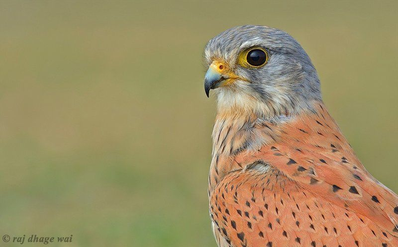 common kestrel malephoto preview